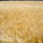 wheat-field-1364513-m